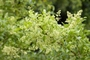 Anacardiaceae - Schinus terebinthifolius