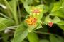 Verbenaceae - Lantana camara