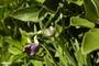 Fabaceae - Vigna vexillata