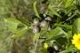 Myrtaceae - Psidium cattleianum