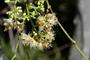 Myrtaceae - Syzygium cumini