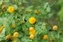 Fabaceae - Vachellia farnesiana