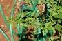 Malvaceae - Malvastrum coromandelianum subsp. coromandelianum
