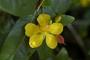 Ochnaceae - Ochna thomasiana