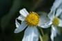 Asteraceae - Montanoa hibiscifolia