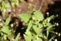 Asteraceae - Galinsoga parviflora