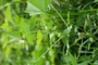 Malvaceae - Malva parviflora