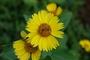 Asteraceae - Verbesina encelioides