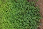 Malvaceae - Sida ciliaris