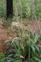 Poaceae - Sorghum bicolor