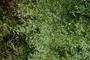 Asteraceae - Parthenium hysterophorus