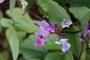 Fabaceae - Lablab purpureus