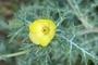 Papaveraceae - Argemone mexicana