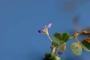 Fabaceae - Desmodium triflorum