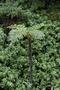 Cyatheaceae - Sphaeropteris cooperi