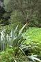 Xanthorrhoeaceae - Phormium tenax