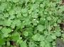 Asteraceae - Erigeron bellioides