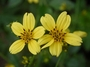 Asteraceae - Bidens x torta