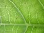Rubiaceae - Psychotria hathewayi var. hathewayi