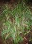 Cyperaceae - Carex meyenii
