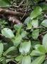 Rubiaceae - Kadua affinis