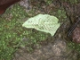 Dryopteridaceae - Cyrtomium caryotideum