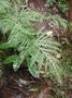 Pteridaceae - Pteris irregularis