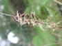 Poaceae - Cenchrus agrimonioides var. agrimonioides