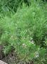 Asteraceae - Tetramolopium filiforme var. polyphyllum