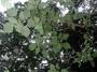 Urticaceae - Pipturus albidus
