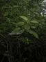 Urticaceae - Urera glabra