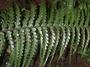 Aspleniaceae - Asplenium caudatum