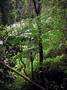 Meliaceae - Toona ciliata