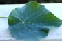 Euphorbiaceae - Macaranga tanarius