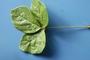 Fabaceae - Neonotonia wightii