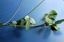 Fabaceae - Macroptilium atropurpureum