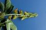 Fabaceae - Crotalaria incana