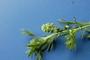 Brassicaceae - Lepidium didymum