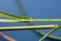 Poaceae - Cenchrus echinatus