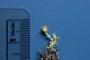 Asteraceae - Artemisia australis