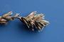 Asteraceae - Pseudelephantopus spicatus