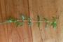 Rubiaceae - Oldenlandia corymbosa