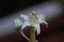 Apocynaceae - Calotropis gigantea