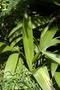 Hypoxidaceae - Molineria capitulata