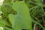Cucurbitaceae - Sechium edule