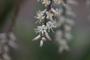 Asparagaceae - Cordyline fruticosa