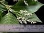 Amaranthaceae - Achyranthes marchionica