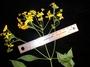 Asteraceae - Bidens polycephala
