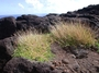 Poaceae - Chrysopogon aciculatus