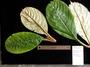 Gesneriaceae - Cyrtandra jonesii